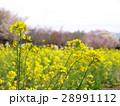 菜の花とサクラ 28991112
