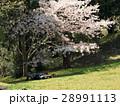 桜の下で花見昼寝 28991113