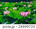 蓮 オオガハス 花の写真 28999720