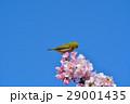 メジロと河津桜(N) 29001435