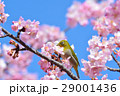 メジロと河津桜(N) 29001436