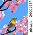 メジロと河津桜(N) 29001437