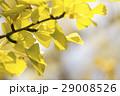 熊本テクノリサーチパークの銀杏 29008526