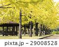 熊本テクノリサーチパーク イチョウ イチョウの木の写真 29008528