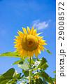 ひまわり 青空 夏の写真 29008572