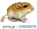 ネズミ イラスト リアル 29009878