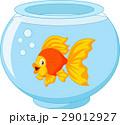 Gold fish in aquarium 29012927