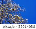 蕾 花 ハクモクレンの写真 29014038