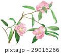 花 ツバキ 水彩画のイラスト 29016266