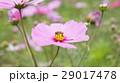 採蜜的蜜蜂 29017478