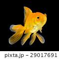 gold fish on black background 29017691
