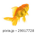 gold fish isolated on white background 29017728