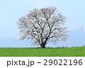 桜 春 草原の写真 29022196