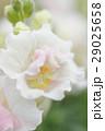 金魚草の花のアップ 29025658