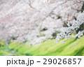 春 桜 さくらの写真 29026857