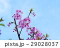 河津桜 カワヅザクラ 桜の写真 29028037
