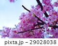 河津桜 カワヅザクラ 桜の写真 29028038