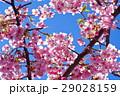 河津桜 カワヅザクラ 桜の写真 29028159