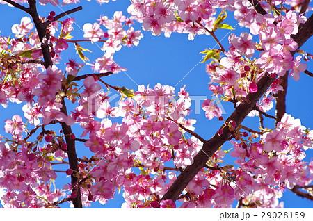 河津桜 澄んだ青空と透過光 a 29028159