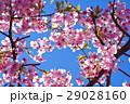 河津桜 カワヅザクラ 桜の写真 29028160
