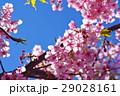 河津桜 カワヅザクラ 桜の写真 29028161