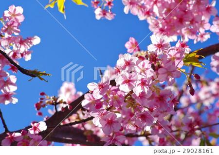 河津桜 澄んだ青空と透過光 c 29028161