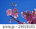 河津桜 カワヅザクラ 桜の写真 29028162