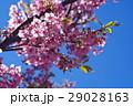 河津桜 カワヅザクラ 桜の写真 29028163