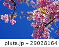 河津桜 カワヅザクラ 桜の写真 29028164