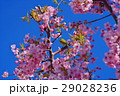 河津桜 カワヅザクラ 桜の写真 29028236