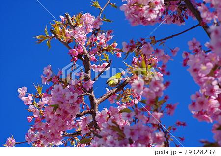河津桜 澄んだ青空と枝にメジロの姿 a-2 29028237