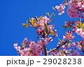 河津桜 カワヅザクラ 桜の写真 29028238