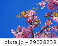河津桜 カワヅザクラ 桜の写真 29028239