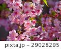 河津桜 カワヅザクラ 桜の写真 29028295