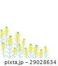 菜の花 花 植物のイラスト 29028634