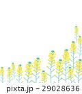 菜の花 花 植物のイラスト 29028636