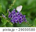 デュランタに佇む紋白蝶 29030580