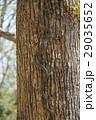 アオダイショウ Japanese rat snake 29035652