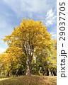 樹木 樹 ツリーの写真 29037705