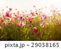 コスモス フラワー 花の写真 29038165