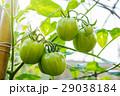 トマト オーガニック 有機の写真 29038184