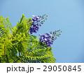 ジャカランダ・ミモシフォリア 29050845