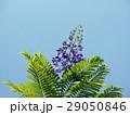 ジャカランダ・ミモシフォリア 29050846