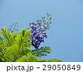 ジャカランダ・ミモシフォリア 29050849