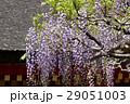 砂ずりの藤 春日大社 29051003