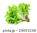 Fresh green lettuce salad on white background 29053246