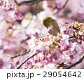 河津桜とメジロ 29054642