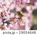 河津桜とメジロ 29054646