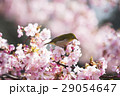河津桜とメジロ 29054647