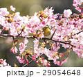 河津桜とメジロ 29054648